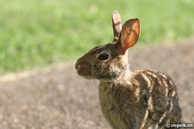 Rabbit with a BB hole in its ear.