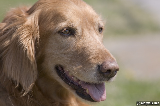 goldenretriever8235.jpg