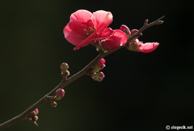 Japanese Garden, blossoms.