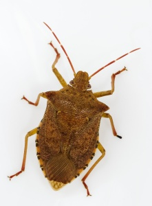 Brown stink bug.