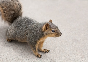 squirrel_face_0054