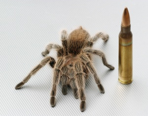Rosehair tarantula and a .223 cartridge