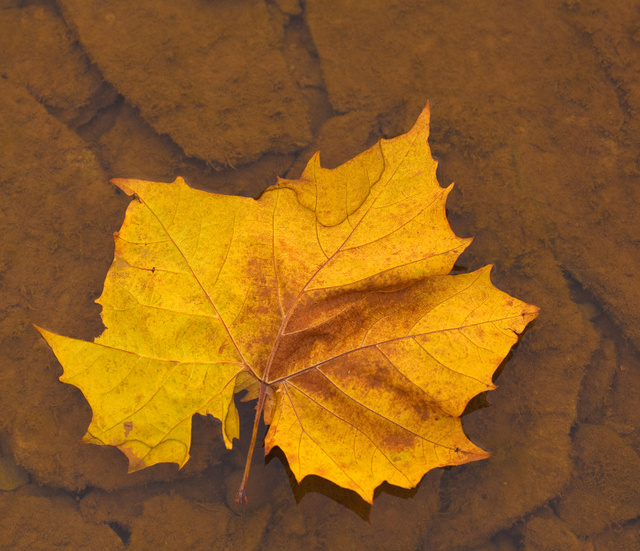 yellow_maple_leaf_7726