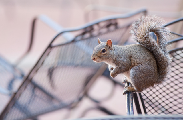 squirrel_9083