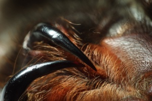 Fangs of an Orange Usambra tarantula