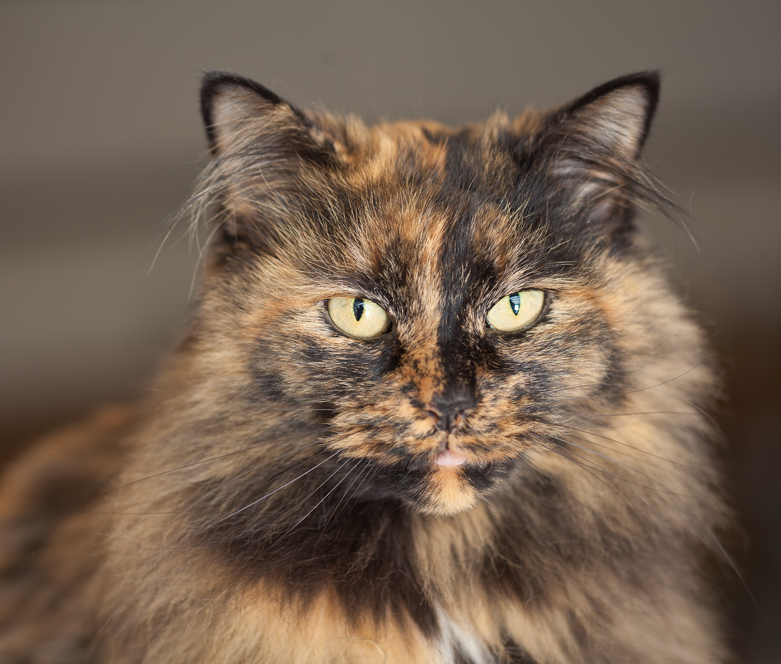 Tortoiseshell cat picture 4600 pet gallery petpeoplesplacecom picture