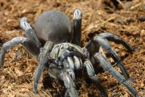 African Grey Burrowing spider.