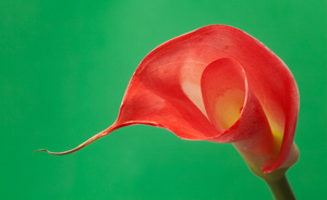 red_lily_7098web