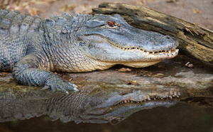 alligator_1349web