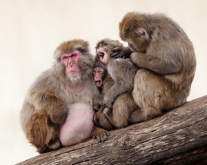 snow_monkeys_grooming_6478web