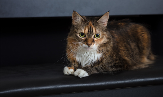 calico_cat_D6A4849web