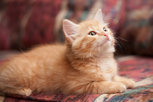 orange_kitten_6726web