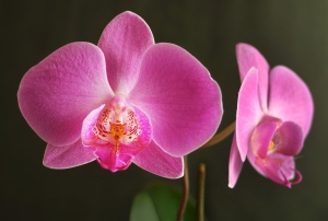 Two orchids.